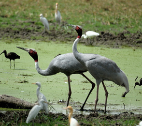 Wildlife Keoladeo Park Rajasthan
